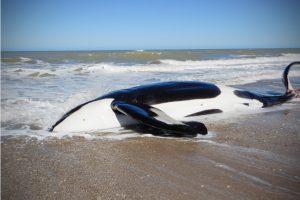 """""""Cada vez son más los varamientos y no sólo de orcas sino también de otros cetáceos"""" –"""
